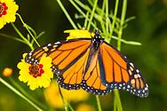 Monarch - Hodges#4614 (Danaus plexippus)<br /> United States: Alabama: Tuscaloosa Co.<br /> Tulip Tree Springs off Echola Rd.; Elrod<br /> 26-May-2017<br /> J.C. Abbott