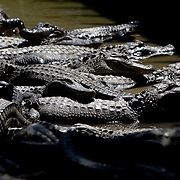 Images of captive alligators and crocodiles from Alligator Adventure in Myrtle Beach, S.C.