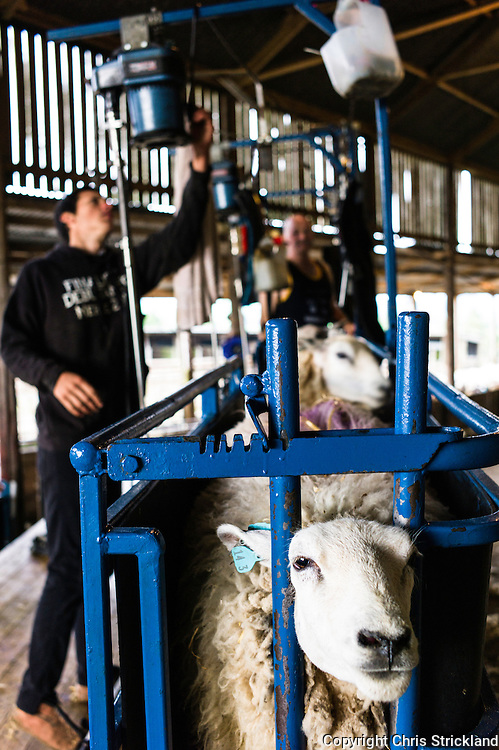 Dolphinston Farm, Jedburgh, Scottish Borders, UK. 24th June 2015. Sheep shearers clipping Lleyne ewes on Dolphinston Farm in the Scottish Borders.
