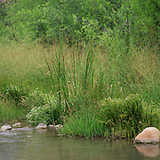 Cattails along the upper section of the Verde River in central Arizona