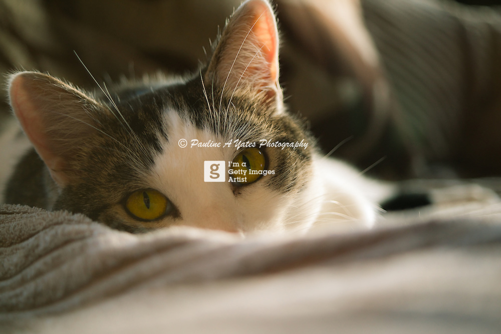 A domestic cat lays on a sofa, ears pricked, watching the camera.<br />