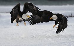 This photo is part of a sequence in which a bald eagle drags a salmon from the Chilkat River only to eat it in front of the eagle that it dragged it up to. In this image (eleventh of the twelve image sequence) the two eagles chase each other around in an attempt to drive the other eagle away. The photo was taken in the Alaska Chilkat Bald Eagle Preserve near Haines, Alaska. During late fall, bald eagles congregate along the Chilkat River to feed on salmon. This gathering of bald eagles in the Alaska Chilkat Bald Eagle Preserve is believed to be one of the largest gatherings of bald eagles in the world.