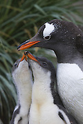 Gentoo Penguin<br /> Pygoscelis papua<br /> Adult and hungry 2-3 week old chick on nest<br /> Gold Harbor, South Georgia