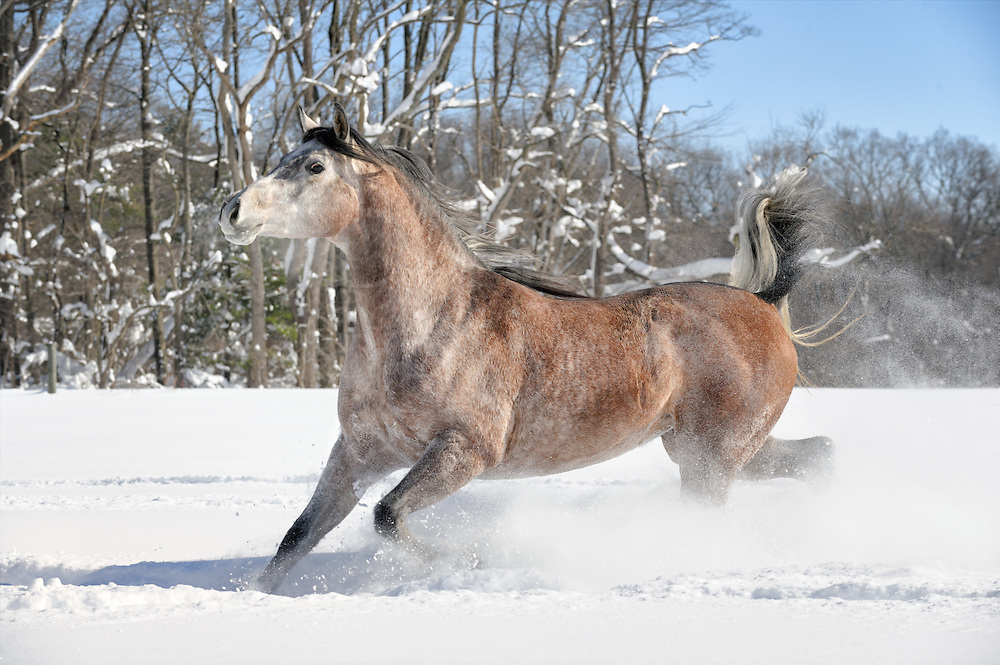 This Arabian mare greatly loved running through the 20&rdquo; of fresh snow. She went round and round the paddock, enjoying herself while ripping up Mother Nature's perfect winter lay and making the powder snow smoke fly! This horse is showy to begin with, but her presentation that day was over the top!<br /> <br /> I was near the middle of the paddock with the camera and had three different backgrounds to shoot against as she ran back and forth. They were all different but equally good, but I prefer this view of snow covered trees in the wood line that compliment her beautiful rose gray coloring. She looks just right, right there. <br /> <br /> And I think she felt just right, too. If you've never seen a horse having a great time, this is it.
