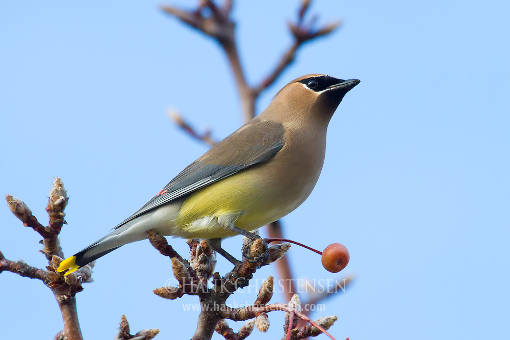 A cedar waxwing perches on a small branch of a tree