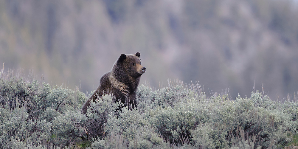 A Grizzle Bear Boar (Ursus arctos) sitting in the sage of the Lamar Valley, Yellowstone National Park