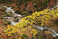 France, Languedoc Roussillon, Gard, Cévennes, cascade d'Orgon, hêtres