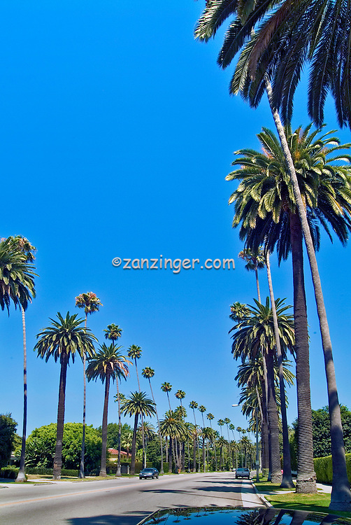Famous Palm Trees along a Beverly Hills CA Luxury neighborhood , Vertical image
