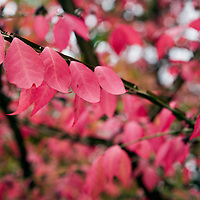 Roughleaf dogwood in the fall with red leaves, Connecticut, USA