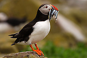 Seahouses - Saturday, June 28, 2003: An Atlantic Puffin (Fratercula arctica) stands on a rock with sandeels in its beak on the Farne Islands. The Atlantic Puffin is a seabird in the auk family. The Farne Islands lie two to three miles off the Northumberland coast midway between the fishing village of Seahouses and Bamburgh Castle. In addition to being a famous Sea Bird Sanctuary in the British Isles they also have a large colony of Atlantic or Grey Seals. (Photo by Peter Horrell / www.peterhorrell.com).