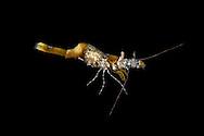 Chameleon Prawn - Hippolyte varians
