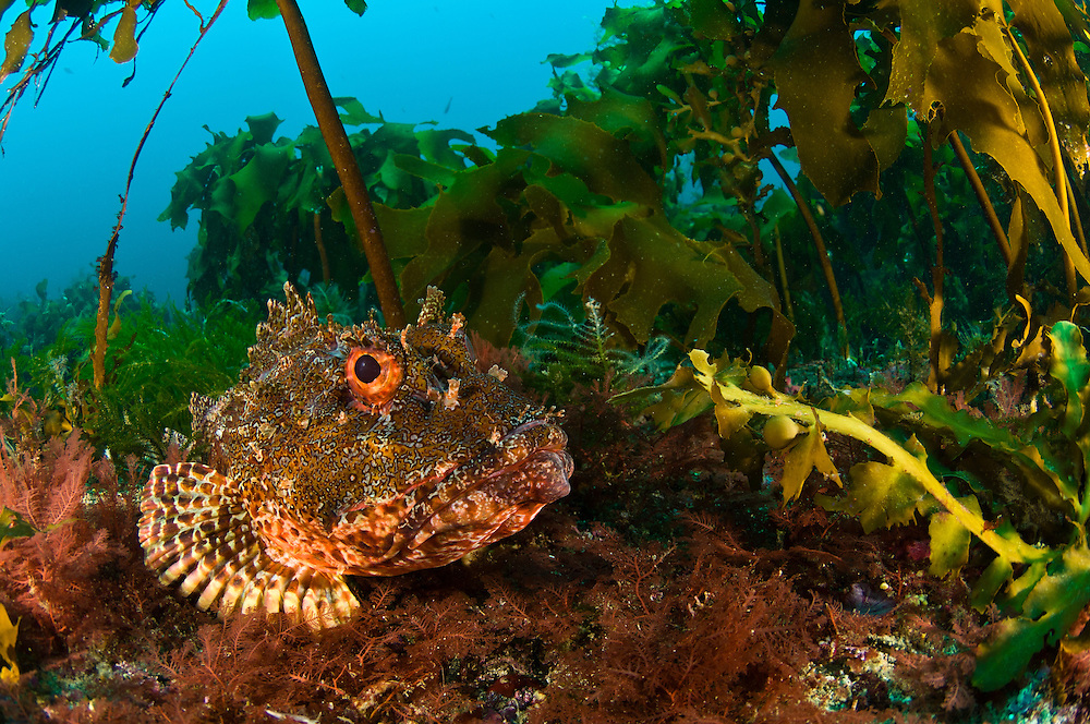 Northern scorpionfish lying amongst kelp, Poor Knights Islands, Tutukaka, New Zealand. The Poor Knights Islands are famous for their sub-trobical marine biodiversity.  The islands have many underwater arches and caves, some of which are home to large schools of blue mao mao.