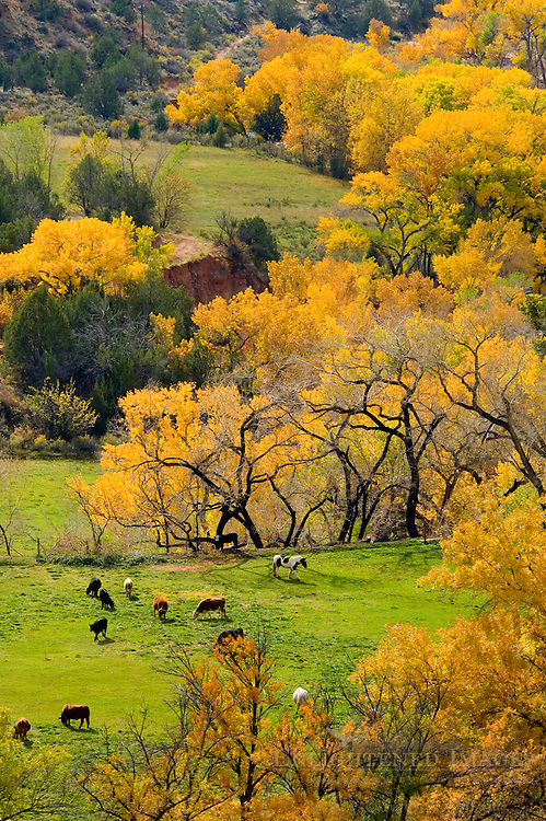 Cattle in pasture and Cottonwood trees in fall on ranch near Zion National Park, Utah
