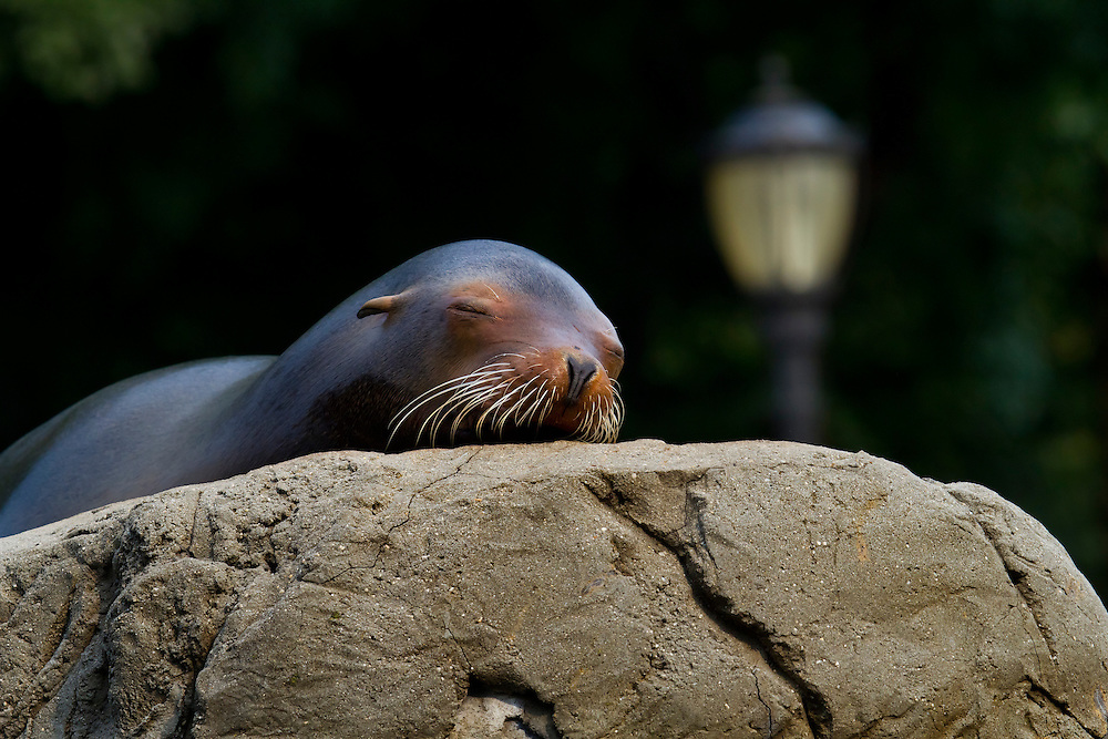 A California sea lion sleeping at the Prospect Park Zoo? Or it is a homeless seal sleeping in the park?