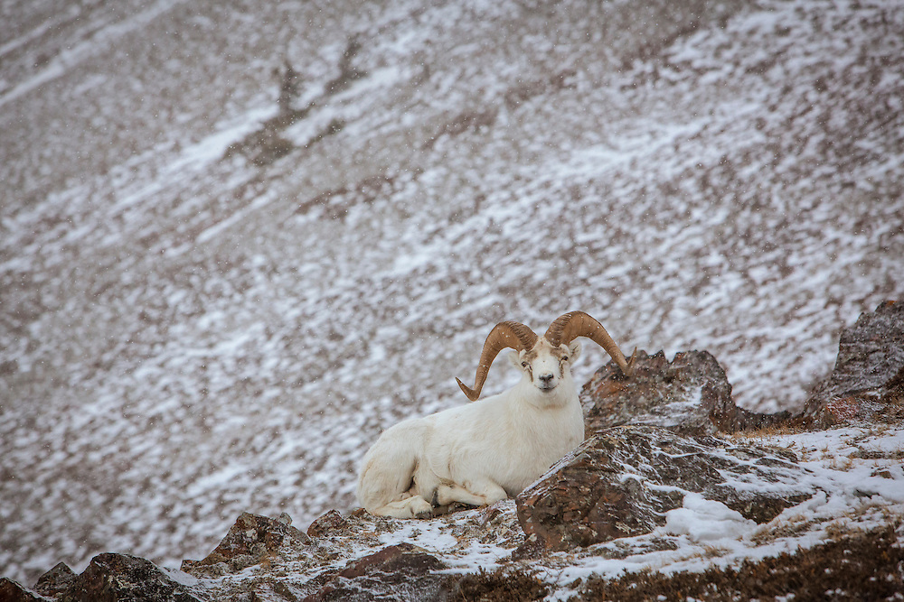Dall Sheep Ram bedded on mountainside