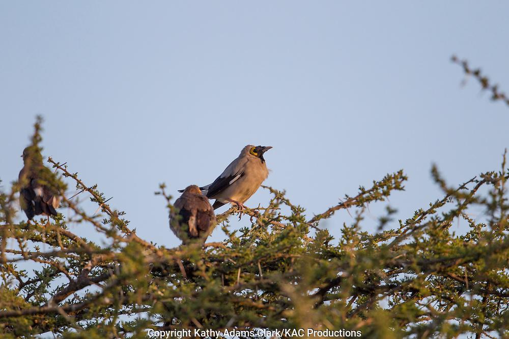 Wattled Starling, Creatophora cinerea, Ndutu, Ngorongoro Conservation Area, Tanzania, Africa.