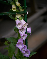 Foxglove. Image taken with a Leica TL-2 camera and 55-135 mm lens.