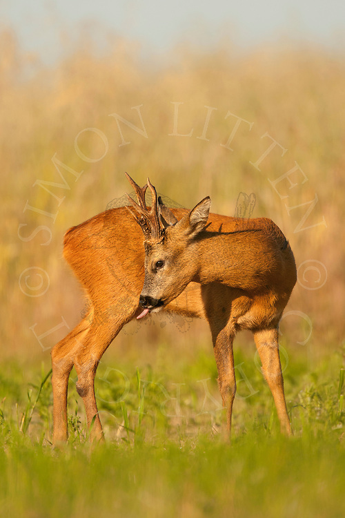 Western Roe Deer (Capreolus capreolus) adult male cleaning itself in set-aside field, Norfolk, UK.