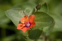 Stick-leaf, Mentzelia oligosperma, Gillespie  County, TX.