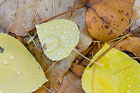 Fallen Aspen leaves (Populus tremuloides), Glacier National Park Montana USA