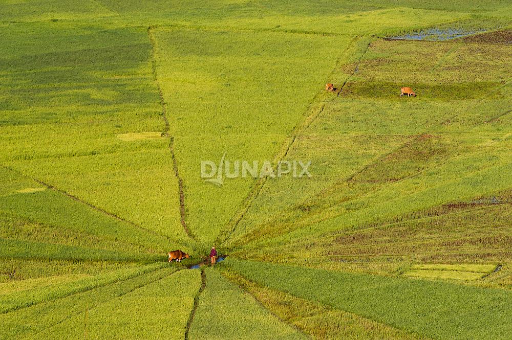 Spiderweb rice field, Manggarai, Flores