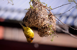 South Africa Cape Town 03 July 2020 Green Birds Construct Better Nests in Khayelitsha Hospital grounds the beautifully complex nests of different bird species.  The birds, who build several grass nests during their breeding season, varied and improved on their technique with each new nest. They also learned to be more efficient over time experienced birds dropped fewer blades of grass than novices. Photographer Ayanda Ndamane African news agency (ANA)