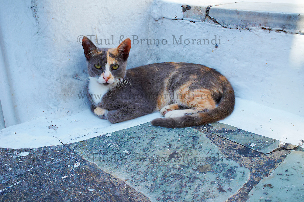 Europe, Grece, Mer Egée, Cyclades, île de Mykonos, ville de Chora, chat dans la rue // cat in The Chora (Hora), Mykonos island, Cyclades Islands, Greek Islands, Aegean Sea, Greece, Europe