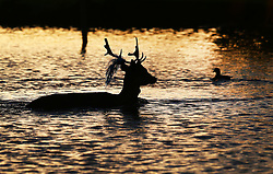 © Licensed to London News Pictures. 28/12/2015. London, UK. A deer takes a dip in Heron Pond at sunrise in Bushy Park. Photo credit: Peter Macdiarmid/LNP