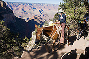 Oct. 6, 2008 -- GRAND CANYON NATIONAL PARK: Tourists ride mules out of the Grand Canyon on the Bright Angel Trail on the south rim of the Grand Canyon National Park in northern Arizona. Photo by Jack Kurtz