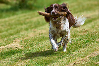 """Springer Spaniel """"Matty"""" running with a stick   Photo: Peter Llewellyn"""