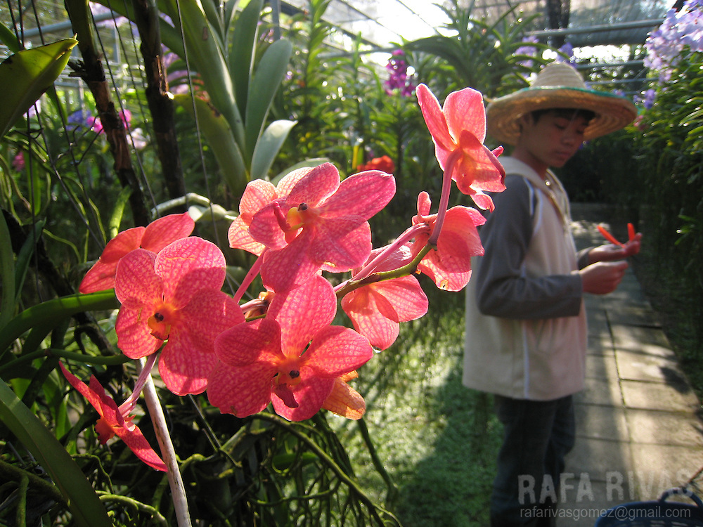 A Thai boy works at an orchids' nursery in Chiang Mai, Thailand.