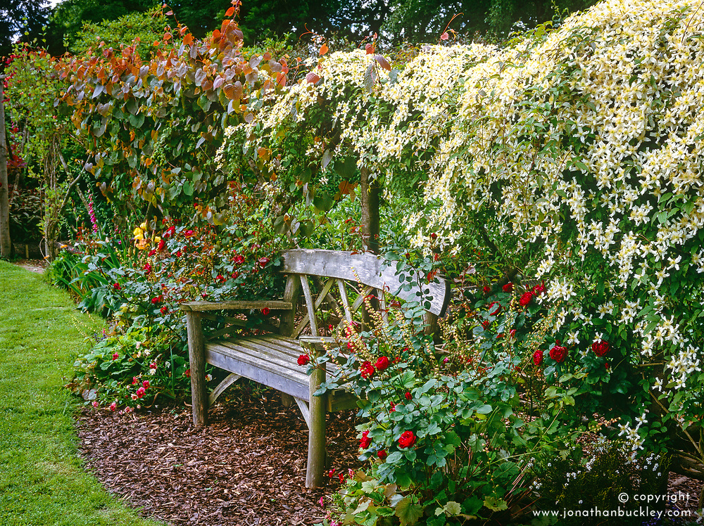 Wooden seat backed by chestnut pole screen covered with Clematis montana var. wilsonii and Vitis coignetiae 'Claret Cloak'