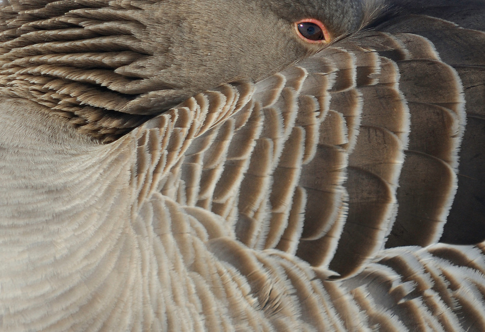 Greylag goose sleeping, Lake Tysslingen, Vastmanland, Sweden