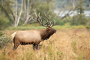 Bull Elk profile with full rack, water in background