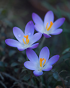 Crocus in the Pit House at Stonecrop Gardens.