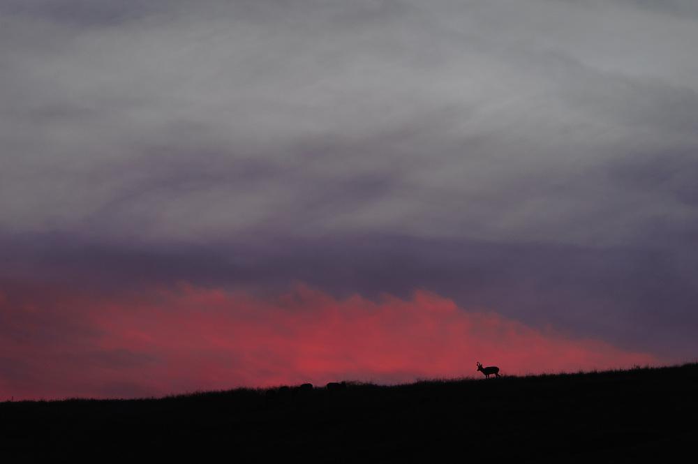 Pronghorn Buck, West Central Montana