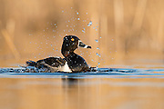 Ring-necked Duck, Aythya collaris , male, bathing, Saginaw Bay, Michigan