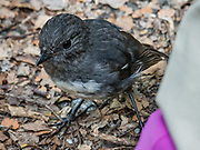 South Island robin (Petroica australis) is a protected endemic species of New Zealand. Photographed on the Milford Track in Fiordland National Park, Southland region, South Island of New Zealand. In 1990, UNESCO honored Te Wahipounamu - South West New Zealand as a World Heritage Area.