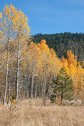 """""""Aspens at Klondike Meadow 3"""" - These yellow aspen trees were photographed in the fall at Klondike Meadow near Truckee, California."""