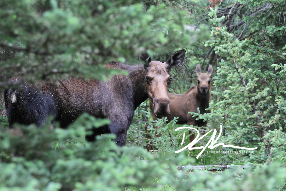 Moose are a majestic creature, seeing Mama Moose with her calf is a rare treat!