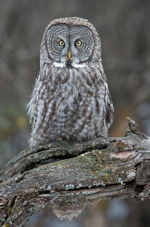 Perched Great Gray Owl (Strix nebulosa), Western Montana