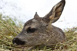 June 24, 2017 - Toledillo, Soria, Spain - A newborn European roe deer (Capreolus capreolus) pictured near of the small village of Toledillo, Soria province, northern Spain. (Credit Image: © Jorge Sanz/Pacific Press via ZUMA Wire)