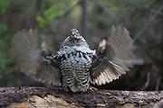 Male ruffed grouse drumming in habitat