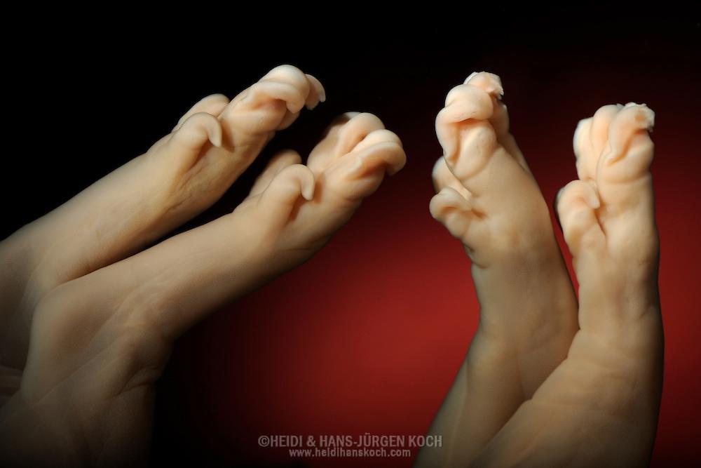 Feet of a pig fetus, Sus scrofa domestica | Heidi & Hans-Juergen Koch