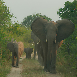 Angry mother elephant with her baby, Queen Elizabeth National park, Uganda.