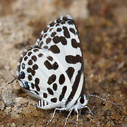 The Common Pierrot (Castalius rosimon) is a small butterfly found in Asia that belongs to the Lycaenids or Blues family.