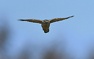 Goshawk - Accipiter gentilis - 1st winter/immature