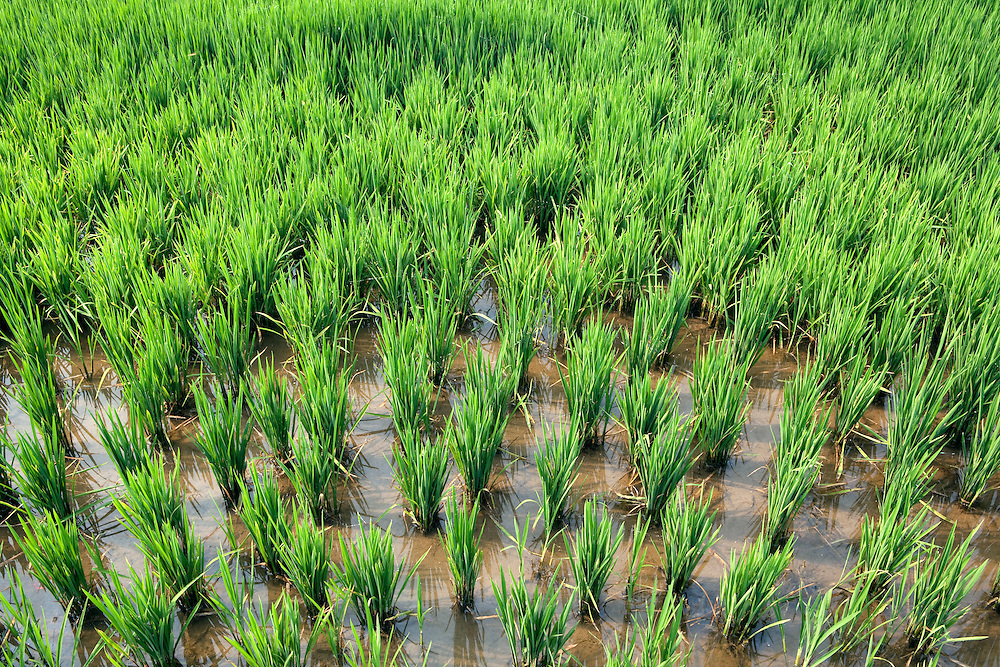 Rice plantations at La Albufera National Park, in Valencia, Spain.