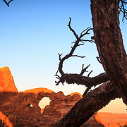 A pinyon pine frames the glowing sunrise as it hits Turret Arch in Arches National Park Utah.