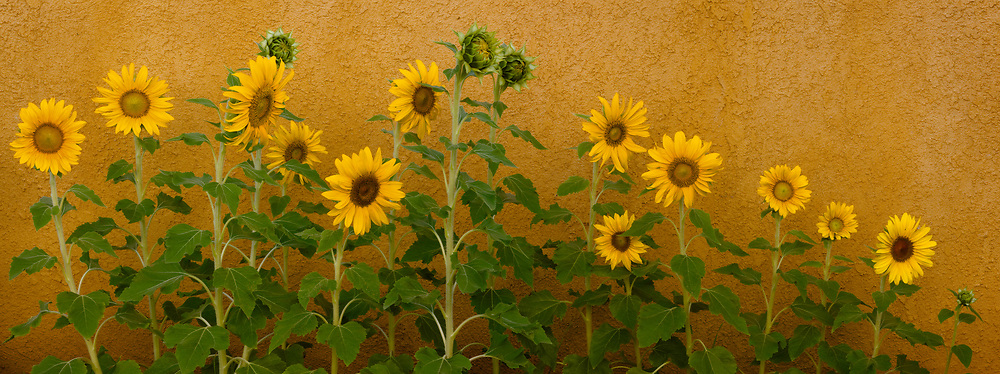 Row of Sunflowers, Ahwahnee, California